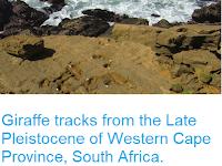 https://sciencythoughts.blogspot.com/2018/03/giraffe-tracks-from-late-pleistocene-of.html