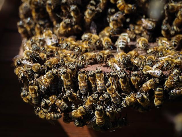 Bijenbaard