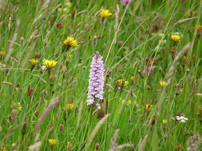 Orchid on a grass verge