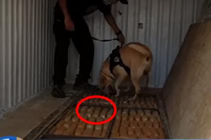 Begini Cara Anjing Pelacak Temukan 1 Ton Ganja Di Bogor, Simak Videonya! JabarPost Media
