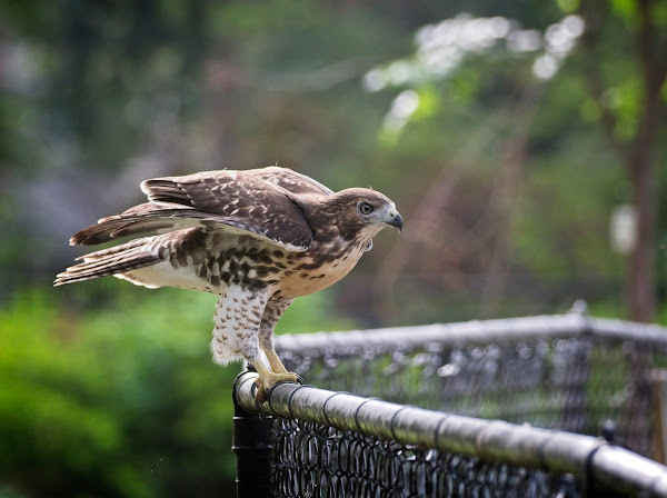 Tompkins Square red-tail fledgling 10