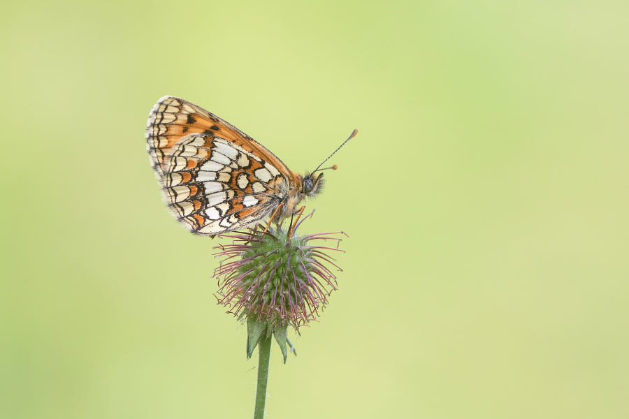 Heath Fritillary photographed at East Blean Woods in Kent