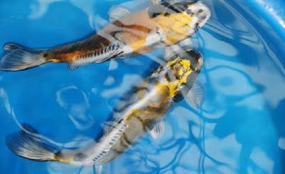 Gambar ikan koi hikarimono