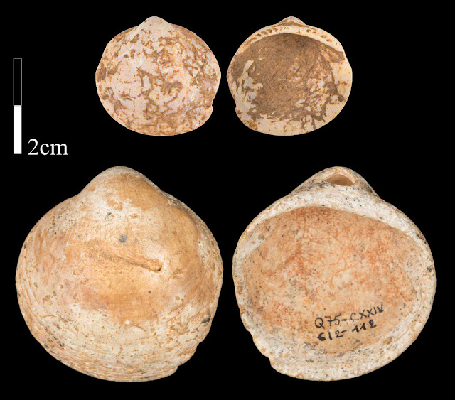 Naturally perforated shells one of the earliest adornments in the Middle Palaeolithic
