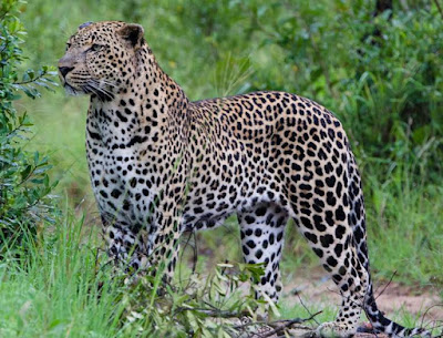 Leopard - Animals That Start With L