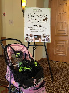 Coco, the Cornish Rex, heading to the Cat Style Lounge at BlogPaws