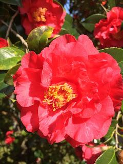 大島公園椿園の赤い椿