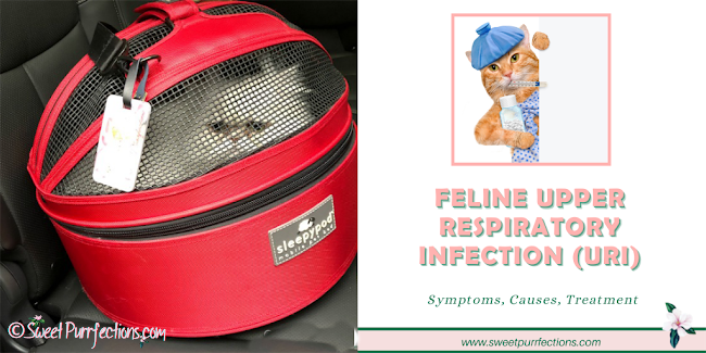 silver Persian Cat inside red Sleepypod Carrier in vehicle