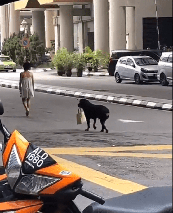Rottweiler Carries A Malaysian Lady's Bag From The Bank
