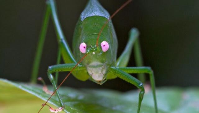 Foram encontradas 200 novas espécies de animais e plantas, incluindo aranhas, sapos, insetos e mamíferos na floresta montanhosa de Papua Nova Guiné, país da Oceania Entre elas uma espetacular espécie de gafanhoto de olhos cor-de-rosa, que se alimenta de flores das altas árvores da floresta.