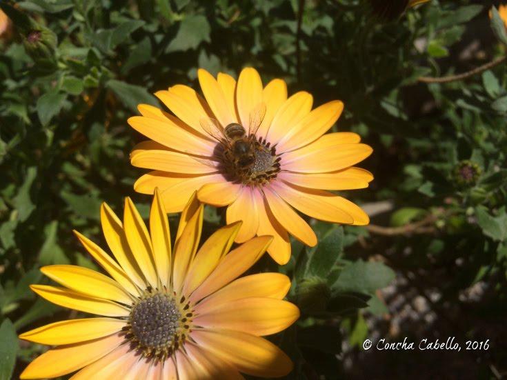 abeja-flor-amarilla