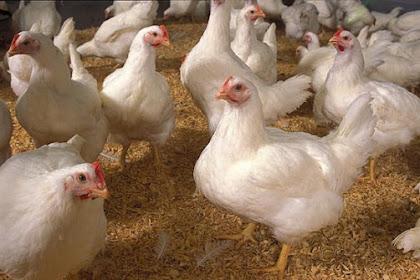 Cara Mencari Pelanggan Ayam Potong