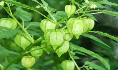 Khasiat daun ciplukan bagi kesehatan