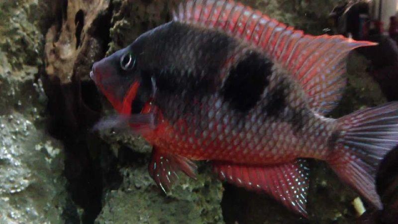 Ikan Mulut Api