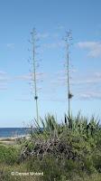 Aloe flower stems, north shore to Kaena Point - Oahu, HI
