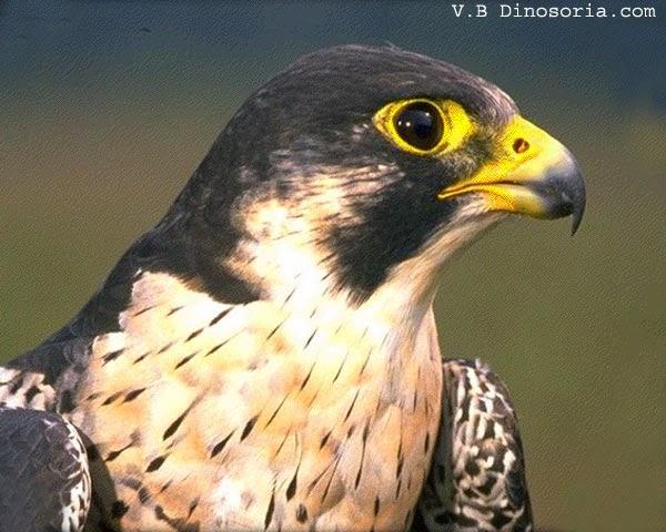 le cri du faucon pelerin