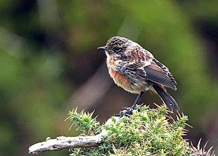 Juvenile Stonechat at Stanpit © Dave Hill