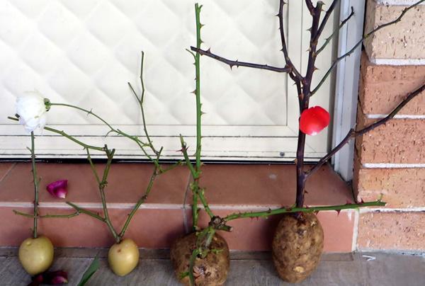 Trồng hoa hồng trên khoai tây
