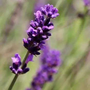 घोडेगुई, Lavender flowers name in Marathi