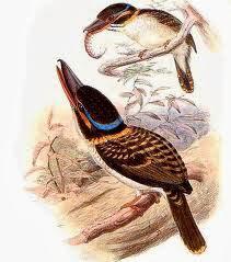 Martín cazador ganchudo Melidora macrorrhina
