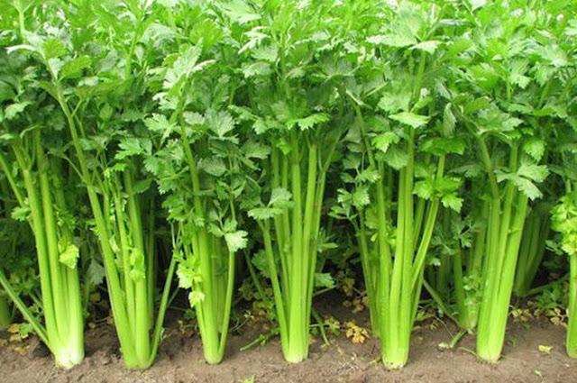 obat daun selederi, cara berobat daun selederi, kegunaan daun selederi