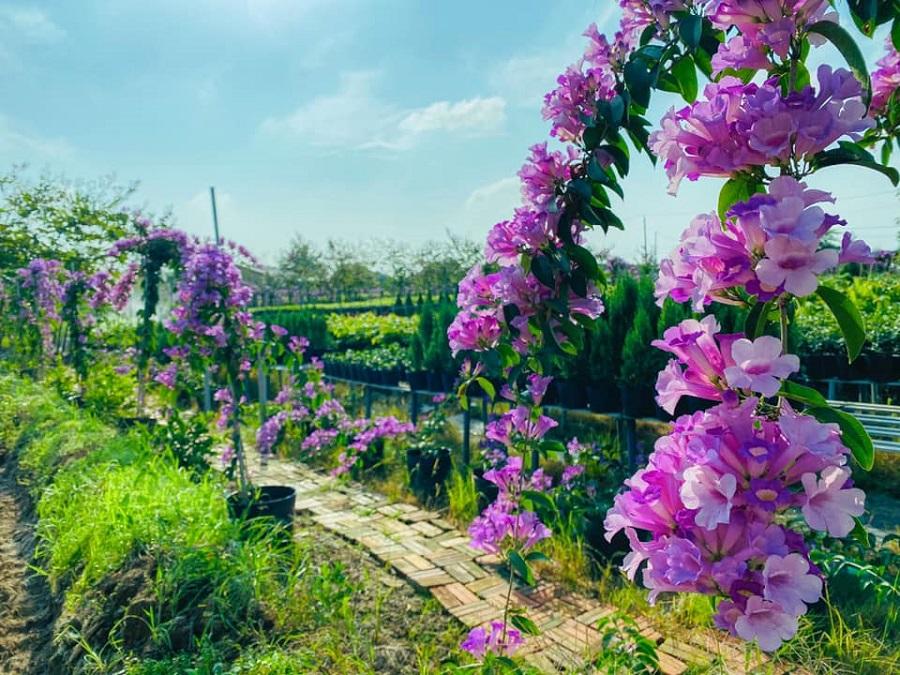 Vườn hoa Lan Tỏi Tím tại Làng Hoa Sa Đéc 4