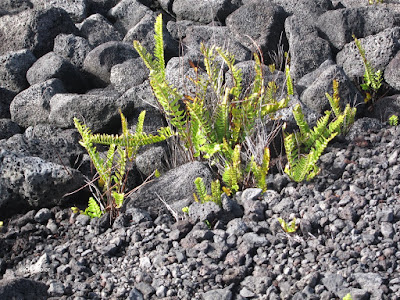 ferns growing on new lava