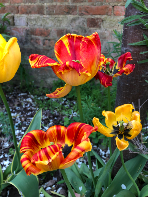 Fading tulips, yellow and red, looks like a flame pattern