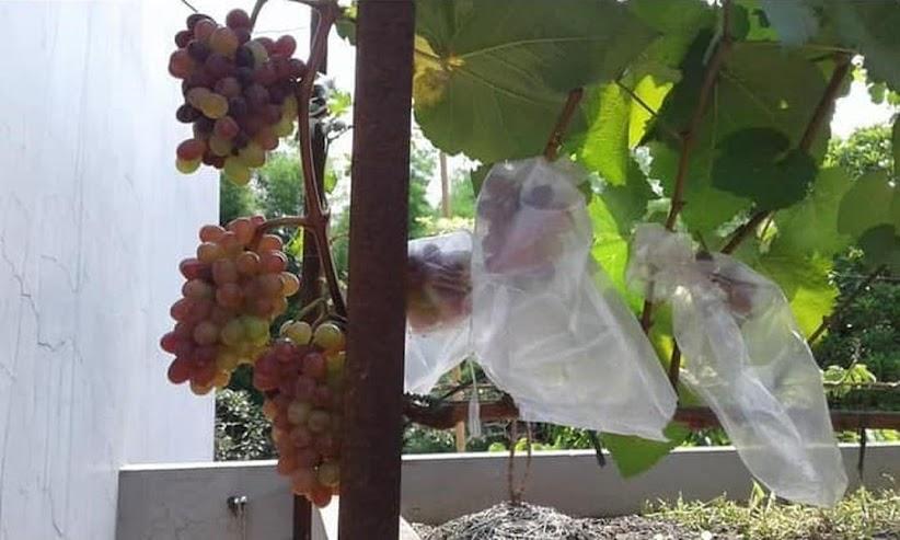 Bibit Anggur Import Jupiter Seedless Grafting Banda Aceh