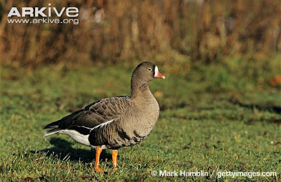 Lesser white fronted Goose