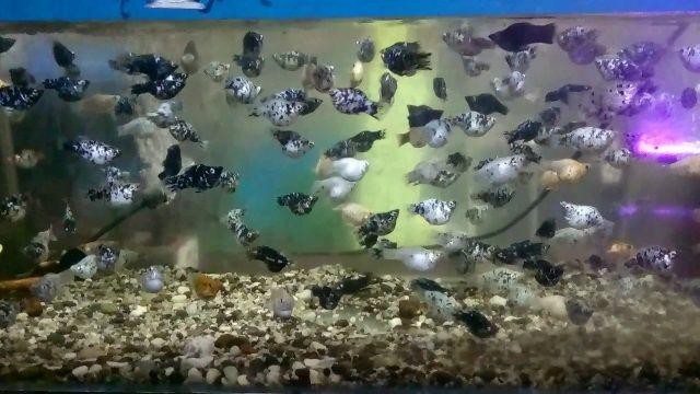Jenis Ikan Hias Mudah Berkembang Biak - Ikan Molly