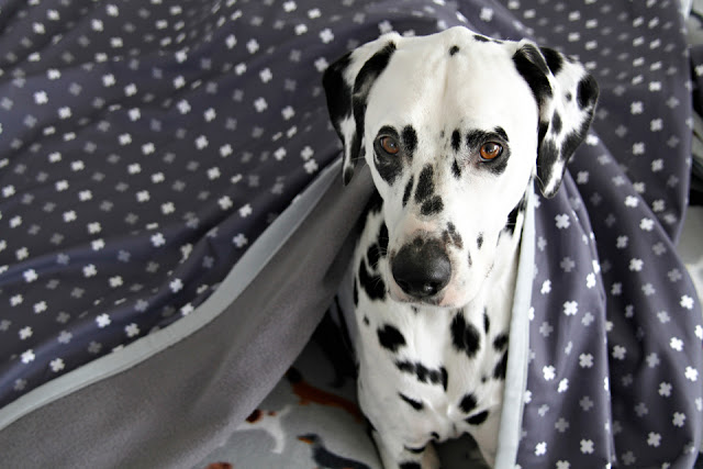 Dalmatian dog wrapped in a grey and white quilt with binding edges