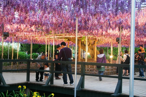 Flowering Waterfall Wisteria in Japan
