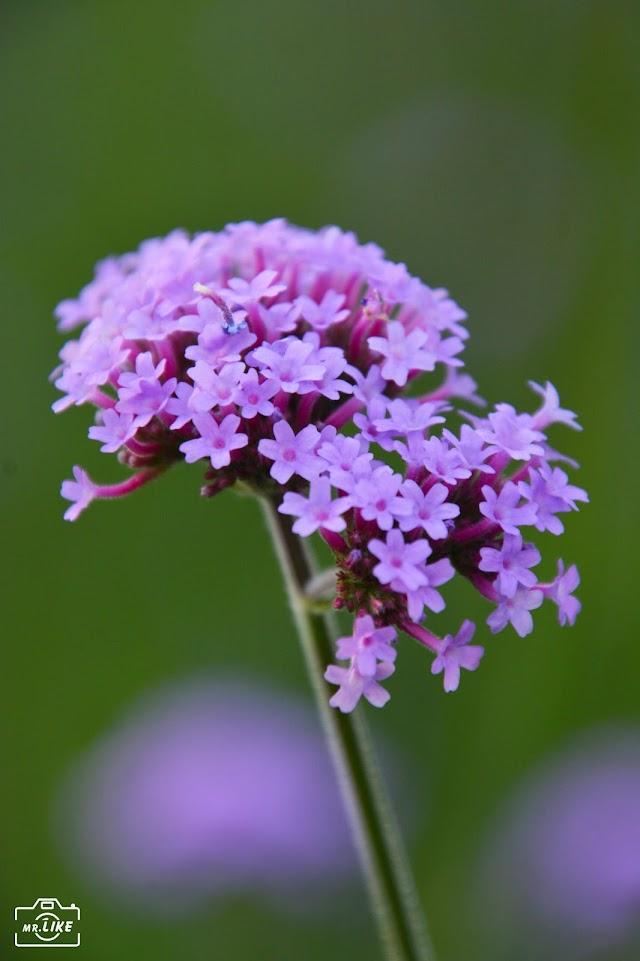 Hoa Lavender giống mới lần đầu tiên xuất hiện tại Đà Lạt
