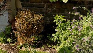 Hydrangea Annabel