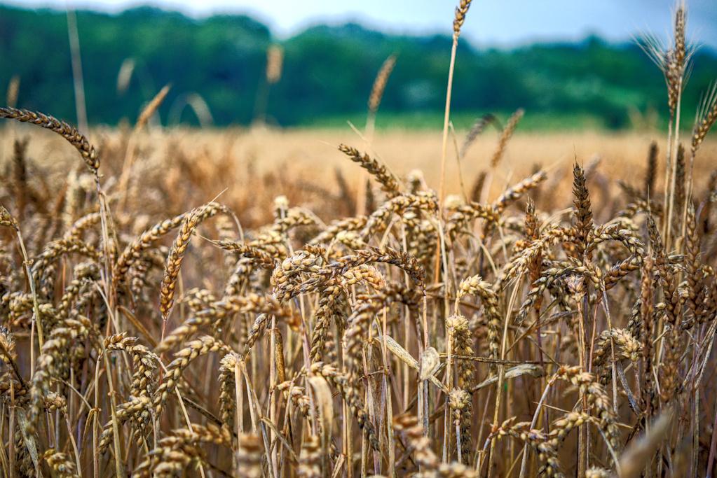 #173 El-Nikkor N f2.8 50mm – Getreide im Regen