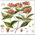 Health benefits of Clove   Syzigium aromaticum (L)