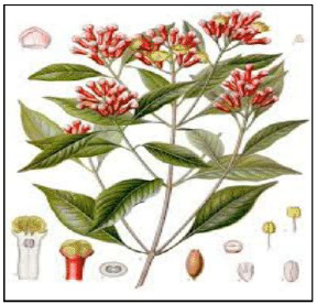 The essential clove oil is derived from the flower buds of Syzigium aromaticum(L.) belonging to the family Myrtaceae