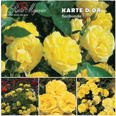 KARTE D OR - Carte D'or Spektakularna floribunda.