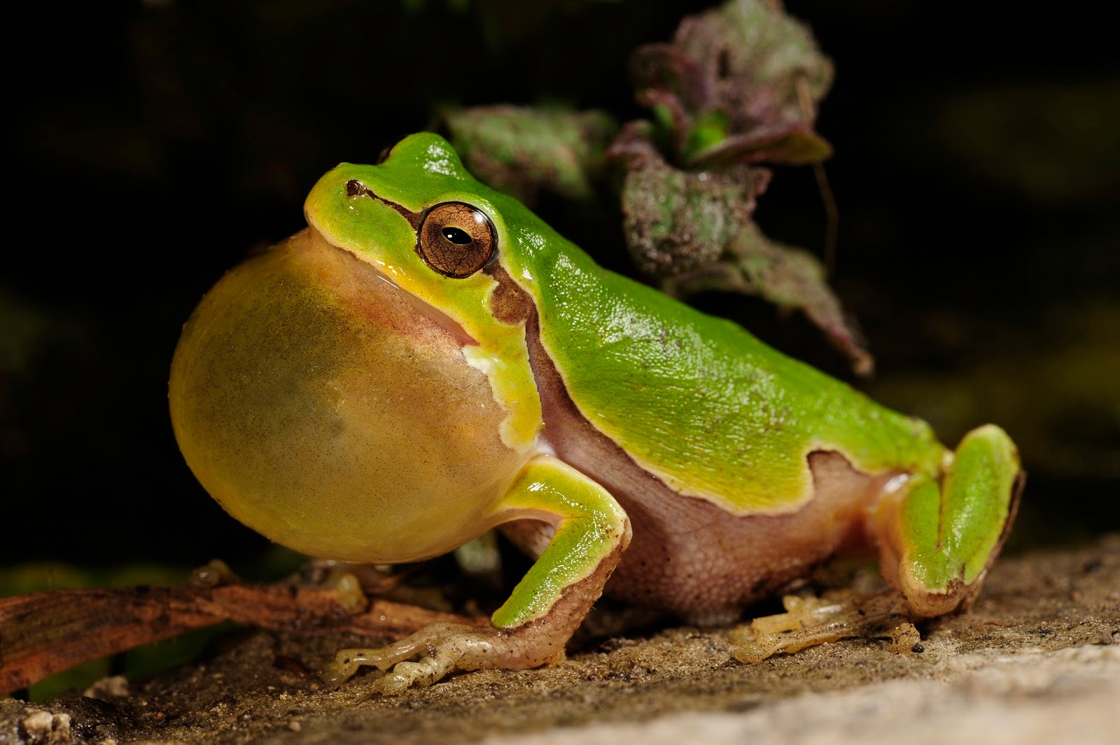 Amphibians: BennyTrapp Hyla intermedia Italien