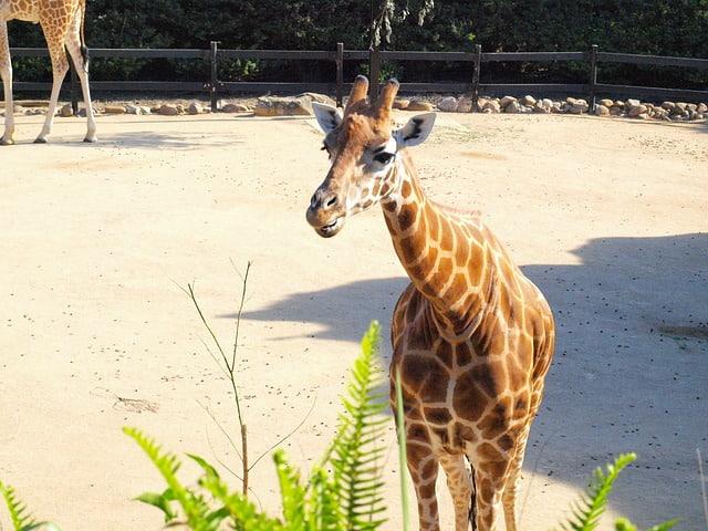 Giraffe at Taronga Zoo in Sydney, Australia