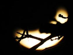 Zweige vor der Mondsichel...