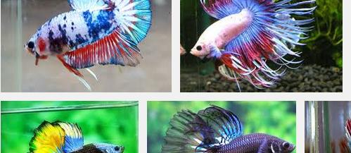 Inilah Makanan Ikan Cupang Terbaik dan Bernutrisi Tinggi