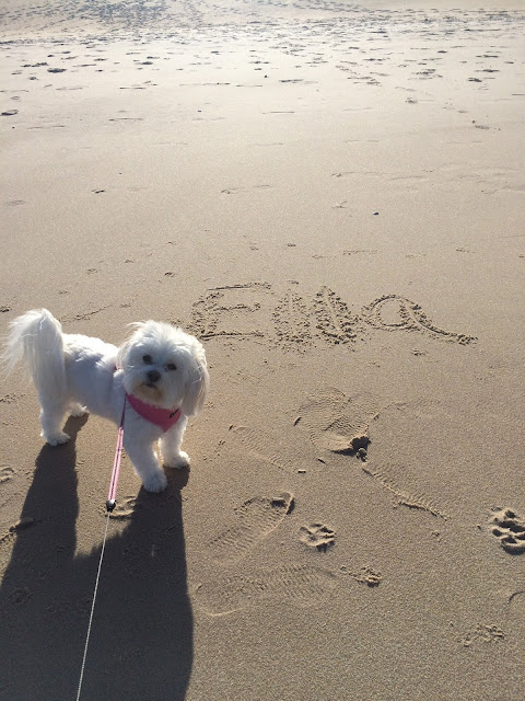 morkie-at-the-beach