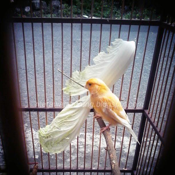 Kegemukan pada burung kenari merupakan permasalahan yang biasa dialami oleh kicaumania Tips Mengatasi Kegemukan Pada Burung Kenari