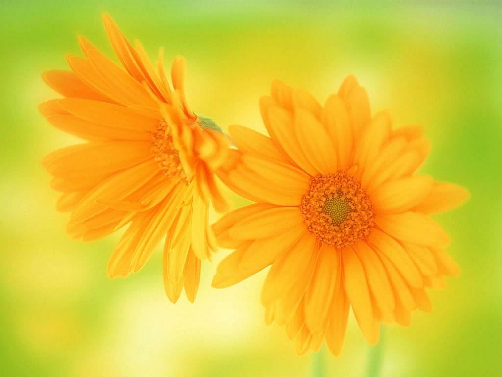 Flowers For Flower Lovers.: Daisy Flowers HD Desktop