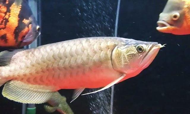 Ikan Nami Green Arowana