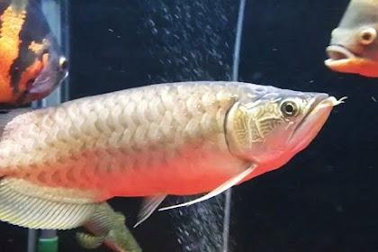 Jenis Ikan Hias Air Tawar Langka yang Indah dan Mempesona
