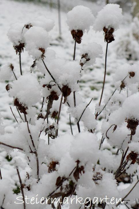 Goldmelisse-im-Schnee-Steiermarkgarten