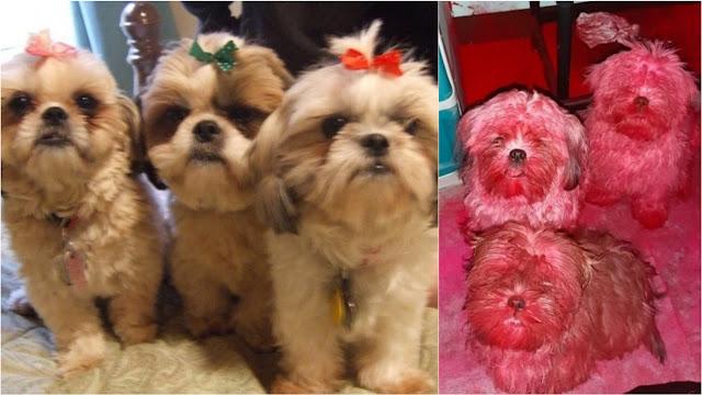 3 shih-tzu assustam dona após brincarem com suas maquiagens: 'Quando os vi, já estavam rosados'
